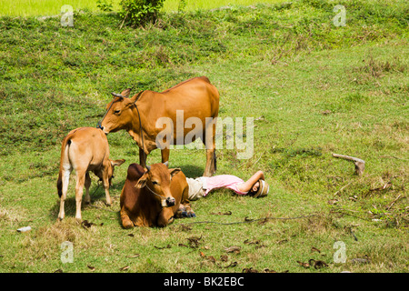 Cowherd woman having a nap with her cows in a field near Mui Ne - Stock Photo
