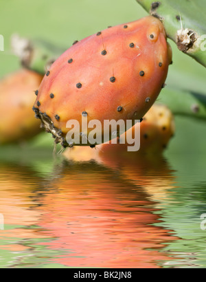 ripe indian fig is reflected on water - Stock Photo