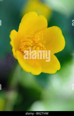 Caltha palustris, commonly known as Kingcup or Marsh Marigold - Stock Photo