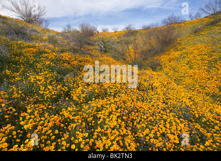 A large field of orange and yellow poppies and wildflowers that goes on forever in Catalina State Park near Tucson. - Stock Photo