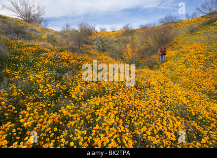 A large field of orange and yellow poppies and wildflowers that goes on forever. A woman photographer walks among - Stock Photo