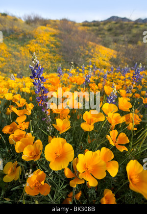 A large field of orange and yellow poppies, lupines, and wildflowers that goes on forever. - Stock Photo