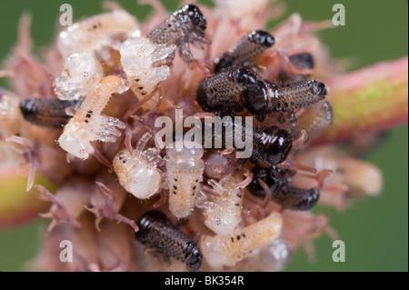 Eucalyptus leaf beetle larvae hatching from egg cluster - Stock Photo