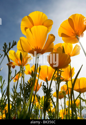 Looking up at the underside of orange Mexican poppies. - Stock Photo
