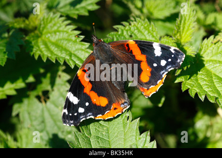 Red Admiral Butterfly (Vanessa atalanta) basking on nettle leaves. Powys, Wales. - Stock Photo