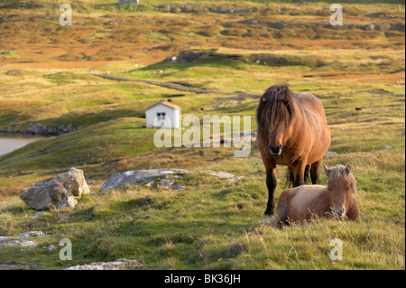 Horses, stallion and foal, Sandoy island, Faroe Islands, Denmark, Europe - Stock Photo