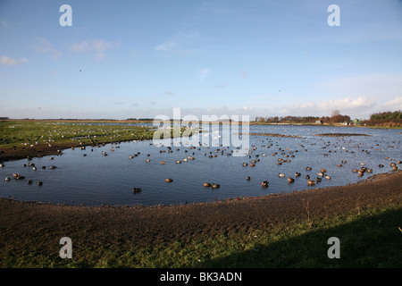 Martin Mere, wetland nature reserve managed by the Wildfowl and Wetlands Trust, Burscough, Lancashire, England - Stock Photo