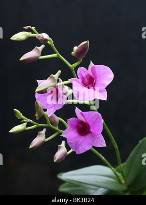 A purple Dendrobium Orchid flower Stock Photo