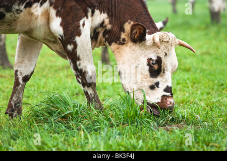 Normande breed cow grazing in a field in France - Stock Photo