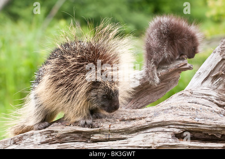 North American porcupine, Erethizon dorsatum, female and infant, Minnesota, USA - Stock Photo
