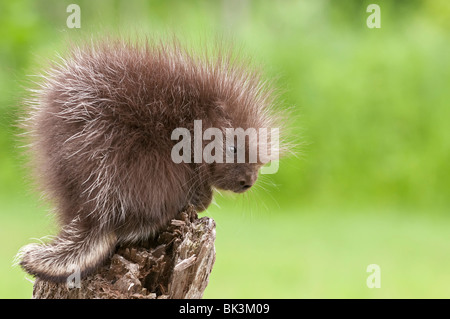 Baby North American porcupine, Erethizon dorsatum, Minnesota, USA - Stock Photo