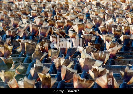Many cod drying on outdoor racks in Lofoten Islands in Norway - Stock Photo