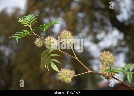 Glycyrrhiza Yunnanensis Fabaceae seed head West London UK - Stock Photo