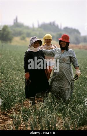 Farm workers in an onion field, Israel - Stock Photo