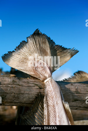 Detail of drying cod to produce traditional stockfish on outdoor racks in Lofoten Islands in Norway - Stock Photo