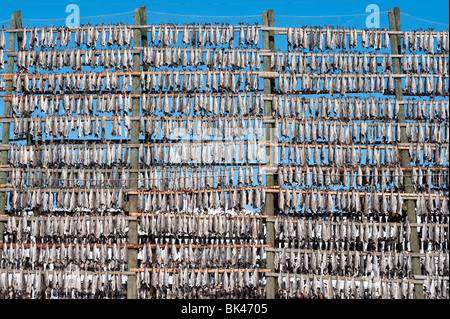 Drying cod to produce traditional stockfish on outdoor A frame racks in Svolvaer in Lofoten Islands in Norway - Stock Photo