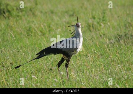 Secretary Bird Sagittarius serpentarius standing in grassland savannah - Stock Photo
