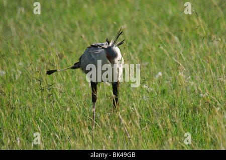 Secretary Bird Sagittarius serpentarius feeding in grassland savannah - Stock Photo