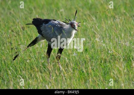 Secretary Bird Sagittarius serpentarius feeding on locusts in grassland savannah - Stock Photo