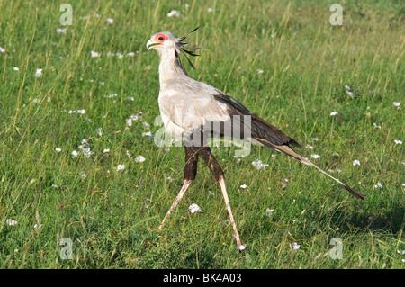 Secretary Bird Sagittarius serpentarius walking in grassland savannah - Stock Photo