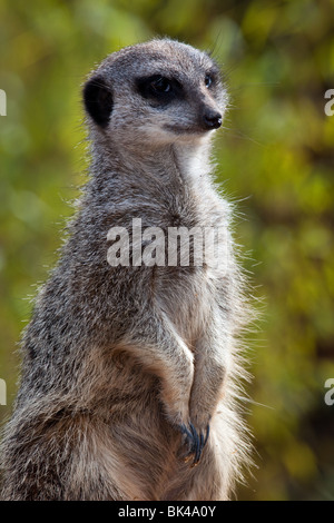 Captive Slender Tailed or Slender-Tailed Meerkat   Suricata suricatta - Stock Photo