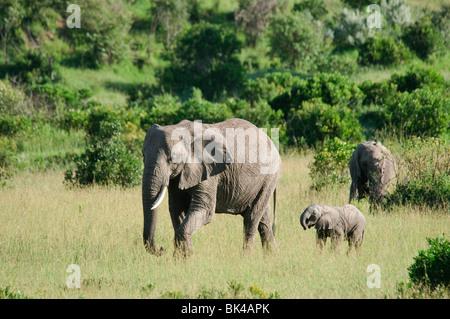 Three African Bush Elephants Loxodonta africana walking through savannah