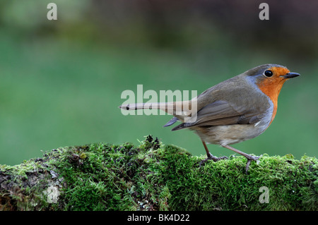 Erithacus Rubecula robin redbreast bird standing perched perch looking moss lichen cover covered branch garden cautious - Stock Photo