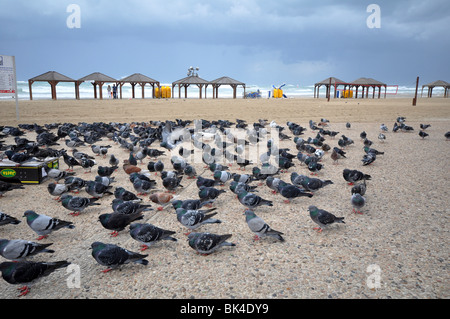 Israel Tel Aviv Pigeons on the beach. - Stock Photo