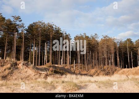 Newborough, Isle of Anglesey, North Wales, UK, Europe. Coastal erosion of Newborough Forest with encroaching Llanddwyn - Stock Photo