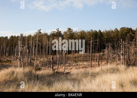 Newborough, Isle of Anglesey, North Wales, UK, Europe. Dead Pine trees on the seaward edge of Newborough Forest - Stock Photo