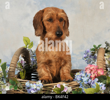 standard wire dachshund, in flower basket, UK - Stock Photo