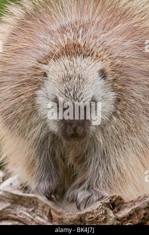 Adult male North American porcupine, Erethizon dorsatum, Minnesota, USA - Stock Photo