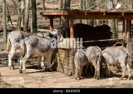 Donkeys Feeding Hay at Yellow River Game Ranch at Stone Mountain, Georgia, USA - Stock Photo