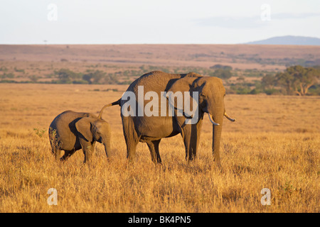 African Elephant (Loxodonta africana) mother and young, Masai Mara National Reserve, Kenya, East Africa, Africa - Stock Photo