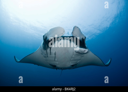 Manta ray, Mergui Archipelago, Burma, Andaman Sea, Indian Ocean - Stock Photo