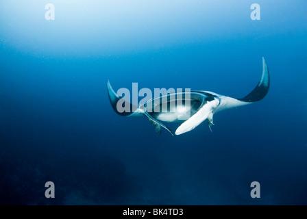 Manta ray, Mergui Archipelago, Burma, Andaman Sea, Indian Ocean - Stock Photo