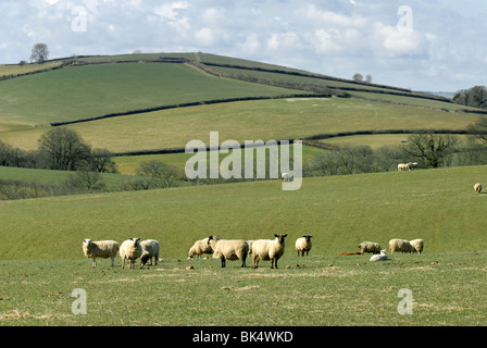 small flock of sheep in an open field in Devon with rolling hills behind - Stock Photo