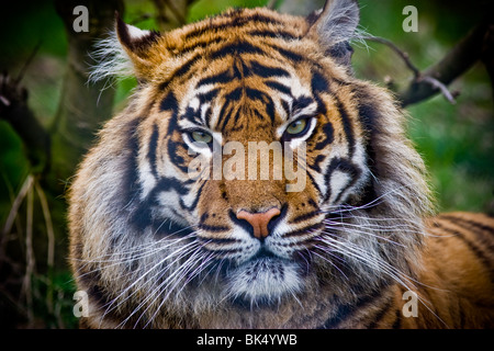 Sumatran tiger - Panthere tigris sumatrae Stock Photo