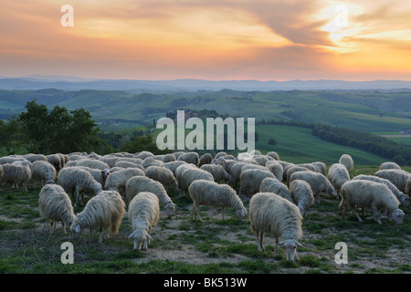 Flock of Sheep, Montecontieri, Asciano, Tuscany, Italy - Stock Photo