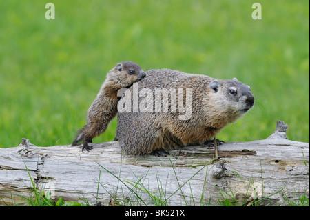 Groundhog with Young, Minnesota, USA - Stock Photo