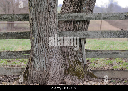 Wooden fence built between the forks of a tree dividing the property line - Stock Photo