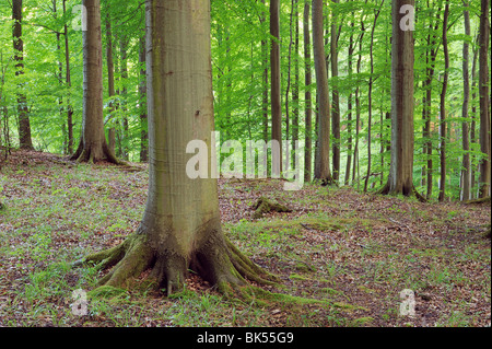 Forest of Beech Trees, Jasmund National Park, Ruegen Island, Mecklenburg-Vorpommern,Germany - Stock Photo