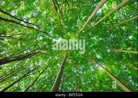 Looking up at Beech Trees, Jasmund National Park, Ruegen Island, Mecklenburg-Vorpommern, Germany - Stock Photo