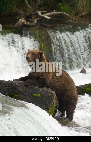 Brown bear, Brooks Camp, Katmai National Park, Alaska, United States of America, North America - Stock Photo