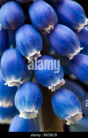 Muscari armeniacum. Grape Hyacinths on black background