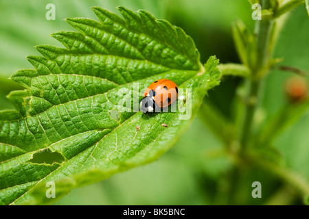 Ladybird on the leaf - Stock Photo