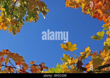 Looking upwards at brightly coloured Autumn leaves against a blue sky. - Stock Photo