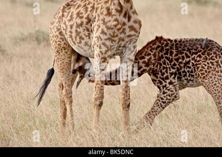Baby Masai giraffe (Giraffa camelopardalis tippelskirchi) nursing, Masai Mara National Reserve, Kenya, East Africa, - Stock Photo