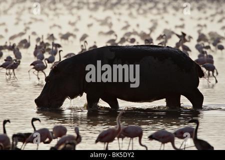 Hippopotamus in shallow water among lesser flamingos, Lake Nakuru National Park, Kenya - Stock Photo