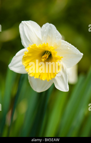 Close up of a two-tone daffodil in bloom - Stock Photo